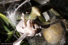Bombyx mori (Baco da seta - Silkworm) (frillicca) Tags: 2010 bacodaseta bombycidae bombyxmori butterfly falena farfalla giugno insect insetto june lepidoptera lepidottero macro macrofotografia moth roma seta silkworm insetti