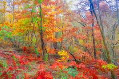 enchanted forest 19 (lotti roberto) Tags: cerbaie fucecchio toscana foresta bosco tuscany colore color autumn autunno