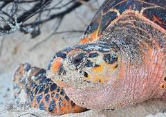 Hawkbills Sea Turtle (G_Plaza) Tags: nikond7100 reptil islademona danger dangerspecies especies en peligro de extincionpuerto ricolifephotographycareycarey conchahawksbill sea turtleeretmochelys imbricata