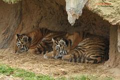 Makar and Arila (Noodles Photo) Tags: makar arila zooduisburg pantheratigrisaltaica tigercubs tierkinder tiger amurtiger sibirischertiger sugetier