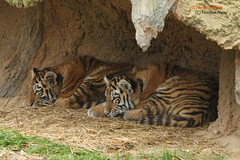 Makar and Arila (Noodles Photo) Tags: makar arila zooduisburg pantheratigrisaltaica tigercubs tierkinder tiger amurtiger sibirischertiger säugetier