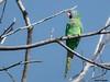 Lora Bonita - Beatiful Parrot aratinga curicaudata (Jose Lozada (Argentina)) Tags: lora cabeza celeste parrto parrot ave cordoba argentina