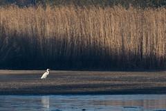 DSC_3198.jpg (Saztul) Tags: bird heron reiher wildlife nature natur vogel emstek niedersachsen germany de