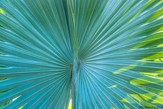 Palm Blue and Green (Margan Zajdowicz) Tags: pattern plant frond texture abstract tree palmtree diagonal outdoor color turquoise green minimalism organicpattern bright arboretum digital zajdowicz availablelight