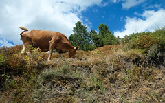 Corsica. (PeeterTomson) Tags: corsica france europe eurotrip mountains cows island nature road good times travel explore enjoy adventure vacation summer fujifilm xa1 national geographic