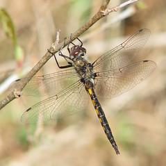 Slender baskettail, male (Epitheca costalis) (Vicki's Nature) Tags: slenderbaskettail male dragonfly april spring brown spots touchofyellow biello georgia vickisnature canon s5 6242 dof