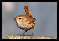 Wren here wig ho (Diko G.W. Internet on & off) Tags: freedomtosoarlevel1birdphotosonly freedomtosoarlevel3birdsonly freedomtosoarlevel2birdsonly