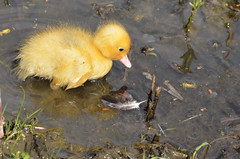 Eendenkuiken / Duckling (4 photo's) (Pjerry ;) (mostly off at the moment)) Tags: spring nikon duckling nederland thenetherlands nikkor lente eend houten 18105mm d7000 eendenkuiken pjerry