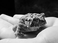 Toad (Joa.JVM) Tags: toad babytoad