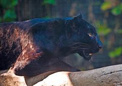 Black Panther (aeschylus18917) Tags: nature cat thailand zoo nikon feline wildlife leopard thai chiangmai panther mammalia pxt blackpanther panthera melanistic carnivora nightsafari felidae pantherapardus   200400mm 200400mmf4gvr chiangmainightsafari d700  ratchaanachakthai nikond700 danielruyle aeschylus18917 danruyle druyle   200400mmf40gvr