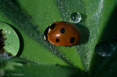DSC_0412.jpg (TheBearded) Tags: macro insect nikon ladybird makro insekt marienkfer retroadapter d5100