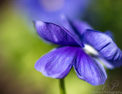 ~Spring In Your Petals~ (Adettara Photography) Tags: park blue flower color macro beauty canon 50mm dc washington spring petal delight pansies exttube adettara saariysqualitypictures