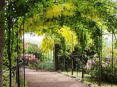 Monteviot laburnum tunnel (Active Gate) Tags: gardens monteviot