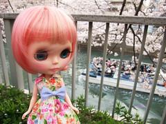 Cherry blossom petals swirl 3