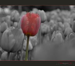 (aniribe) Tags: bw flower nikon creative tulip