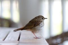 hands of life (nosha) Tags: usa bird beautiful beauty newjersey spring nj jersey avian 2012 lightroom birdbrain 85mmf14 nosha nikond7000 oceangrovenewjerseyusa