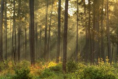 Light in the forest ... (Lindell Dillon) Tags: light forest texas habitat redcockadedwoodpeckers lindelldillon wgoodrichjonesforest