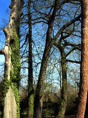 Cinq arbres, parc de l'Orangerie, Strasbourg (Quentin Verwaerde) Tags: ivy strasbourg cedar parc lierre orangerie cohabitation cdre diversit moignon portraitdegroupe horschamp verwaerde quentinverwaerde
