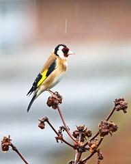 Part 2 (Richard Bradshaw1) Tags: snow rain frost goldfinch legacy splosh gardenbirds torrents goldfinchonviburnum
