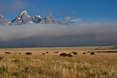 "Bison below the fog-shrouded Tetons (IronRodArt - Royce Bair (""Star Shooter"")) Tags: park mountain fog buffalo grand national prairie grandtetons teton tetons bison range roam graze grandtetonnationalpark antelopeflats"