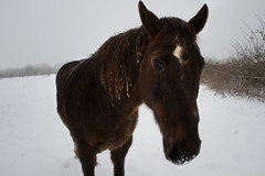 je suis un cheval et j'ai froid (_wysiwyg_) Tags: winter horse snow cold ice nature animal cheval countryside hiver january neige campagne janvier nordpasdecalais froid glace