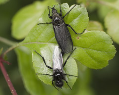 St Mark's Flies Mating (John (Gio) * OVER 100,000 VIEWS *) Tags: macro nature closeup insect wildlife gio zuiko kwt fourthirds bibiomarci nbw bibionidae stmarksfly kentwildlifetrust mardenmeadow zuikodigitaled50mm120macro