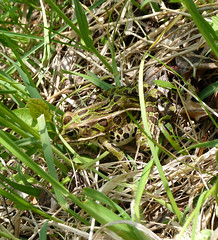Frog (one.juniper) Tags: park ontario canada beach nature water sunshine weekend wildlife may naturepreserve lakehuron provincialpark daytrip wetland portelgin saugeenshores victoriaday longweekend macgregorpoint brucecounty staycation