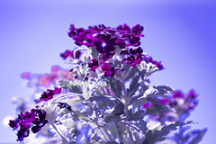 Purple flowers - Explore (E-klasse2010) Tags: