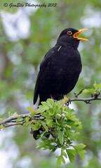 Blackbird Singing (GemElle Photography) Tags: black bird yellow nikon singing blackbird gemelle sigma50500 d600 gemelle1