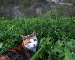 Bon Apptit (Xena*best friend*) Tags: wood wild italy pet cats pets cute animals fur photography chats spring furry woods feline flickr shots tiger kitty kittens whiskers piemonte gato calico purr meow paws miao gatto mb katzen pussycat markings miau feral monicabellucci wildanimals allrightsreserved ilovespring alleycatallies piedmontitaly canonef70300mm canoneos500d eosrebelt1i