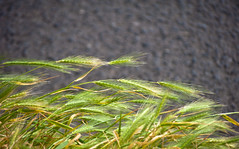 Grass Stalks Bending in the Wind (Orbmiser) Tags: grass oregon portland spring nikon asphalt stalks bending d90 55200vr
