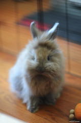 Ms. Winnie showdown' (Jason Scheier) Tags: pets cute bunny animal hair fur furry soft fluffy reflect creatures creature lionshead lionhead rabiit