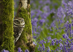Little owl (Scrappy) (Craig Lindsay 2112) Tags: bluebells little wildlife centre surrey owl british scrappy