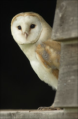 Barn owl (Kevin) (Craig Lindsay 2112) Tags: barn kevin wildlife centre surrey owl british