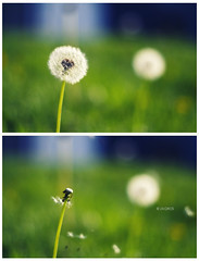 Blown with the winds (Zagros.os) Tags: flower macro grass canon 50mm bokeh away dandelion faded f18 winds blown 1000d