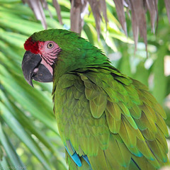 Ardastra Gardens - Green is Beautiful (Larssa) Tags: travel green birds animals catchycolors square parrot macaw 2012 thebahamas ardastragardens