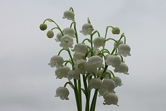Lily Of The Valley Bouquet Against Overcast Sky 002 (Chrisser) Tags: flowers ontario canada nature garden spring gardening fourseasons closeups lilyofthevalley convallariamajalis asparagaceae canonefs1855mmf3556islens canoneosrebelt1i