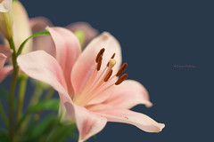lily (loobyloo55) Tags: pink blue brown flower green flora lily