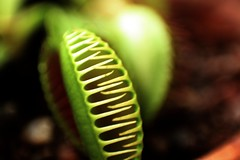 Venus flytrap (blondinrikard) Tags: macro closeup gteborg venus close makro carnivore flytrap venusflytrap botaniska nationaldagen botaniskatrdgrdengteborg ktttande
