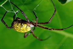 Argiope appensa (bocavermelha-l.b.) Tags: spider cobweb 蜘蛛 虫 bananaspider 105mmf28dmicro クモ 接写 argiopeappensa 2xtelepluspro300 mi–im shootingwithd200 マクロ撮影 webspun 超接写