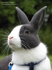 Whisper Portrait 1 (Sapphire Dream Photography) Tags: white rabbit bunny bunnies dutch animal animals grey rabbits lagomorpha leporidae oryctolaguscuniculus