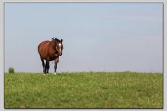 das Pferd und sein Reiter (die_Nicky79) Tags: horse wiese reiter pferde pferd koppel eichelhher