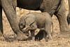 Blind baby (Tobi Roaming Africa) Tags: africa baby elephant south newborn zambia loxodonta africana sambia luangwa mygearandme mygearandmepremium