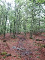 Paseando por el hayedo en primavera (Historia de Covaleda) Tags: espaa spain fiesta paisaje douro pinos soria historia pinar tradicion duero covaleda