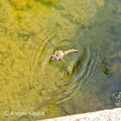 Female dragonfly laying ova (Wuniatu) Tags: square poetry squareformat poet poesia poeta albalat iphoneography instagramapp uploaded:by=instagram foursquare:venue=4da95d735da3ba8a476f69c6 catalanpoetrypasvalencipasoscatalanswuniatupoesiavisualcastellphotographerrutadesaborescontemporarypoetrypolipoesia
