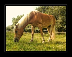 Pret met Sarah (gill4kleuren - 11 ml views) Tags: life horse me grass sarah fun outside happy eating running gill saar paard haflinger