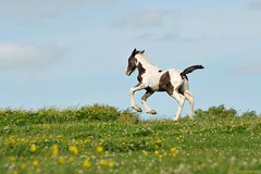 Run away (PhotoCet) Tags: horses horse caballo cheval paint piebald cavallo pferd colt pinto foal hestur skewbald photocet
