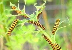 Black & yellow caterpillars - 1 (Tony Worrall Foto) Tags: life uk summer england macro nature beautiful beauty closeup danger warning out insect outdoors hope lava photo amazing nice interesting stem weed pretty natural image britain great seasonal bad scenic scene bugs lancashire creepy eat caterpillars preston colourful lovely striking interest sights brightflowers creep naturephotos blackandyellow nicepictures lovelypictures burnetmoths prestonian 2013tonyworrall photosofcaterpillars