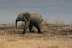 Elephants (Riccy Wings) Tags: africa travel baby elephant animals digital canon wildlife safari elephants botswana 400d