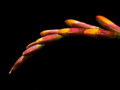 Crocosmia Lucifer (Matty3126) Tags: flower macro panasonic g3 speedlight minimalist crocosmialucifer lumix45200mm